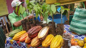 Kakaoflüche und -pflanzen Sapecho